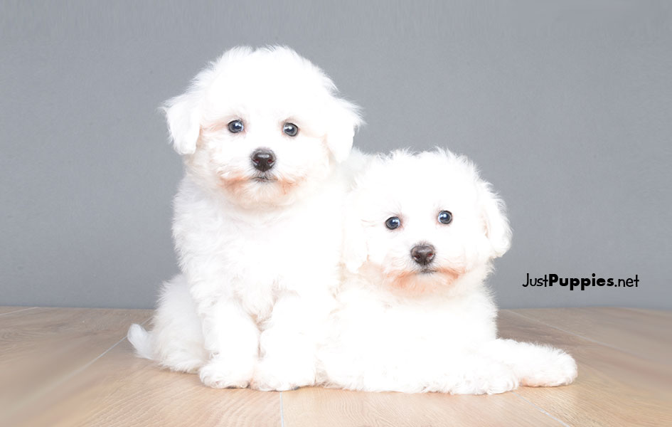 HavaPoo Puppies playing! OH MY WORD- the cuteness!! - YouTube