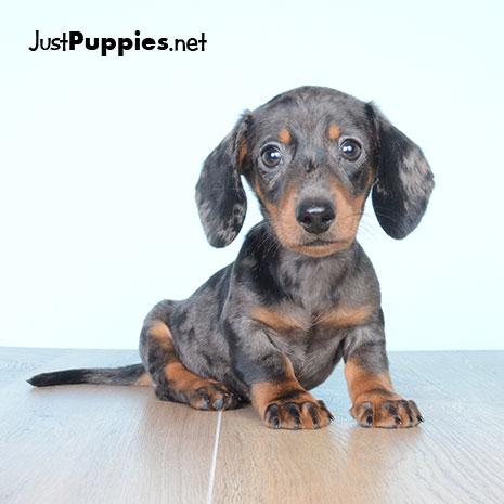 Puppies For Sale Orlando Fl Justpuppies Net