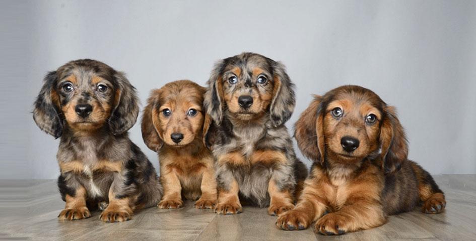 ... puppy orlando, puppy store orlando florida, Chihuahua, Dachshund, Shih