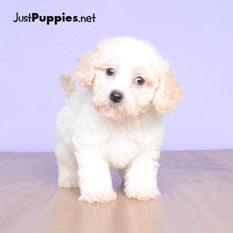 13 Best Havapoo Puppies images in 2019 | Doodle, Doodles ...