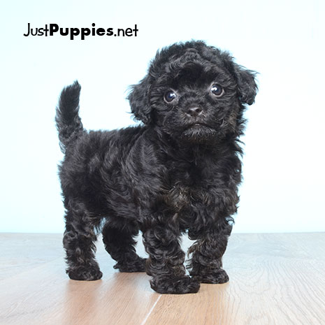 20 Best I heart havanoodle puppies images | Cute baby dogs ...