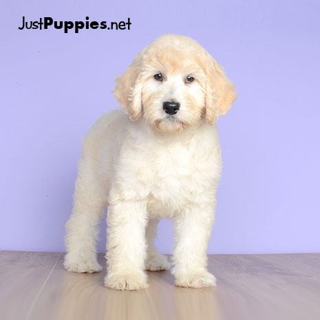 Poovanese Puppies for Sale - DogsNow