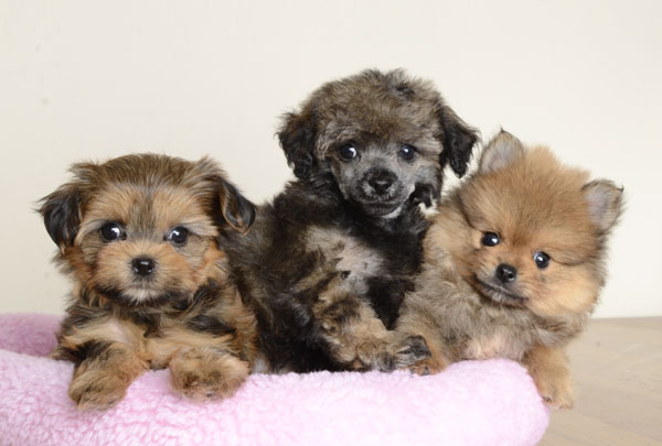 Orlando florida in addition boxer puppies on boxer puppies sale