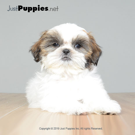 Puppies for Sale - Orlando FL - Available Puppies